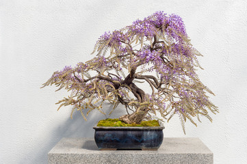 Blooming Japanese Wisteria Bonsai