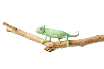 Greenish chameleon on branch isolated on white background