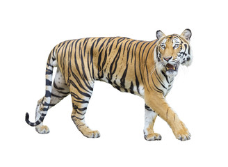 tiger isolated on white background with clipping path.