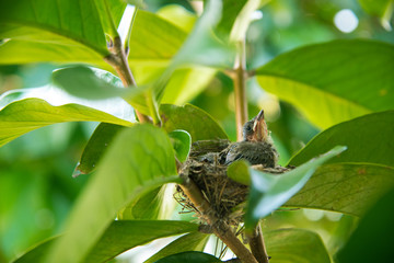 Streak-eared Bulbul bird