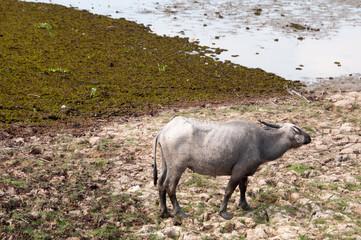 water buffalo eating grass in a field.