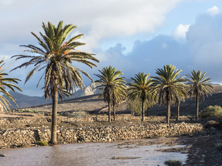 Canary Palm Trees on the island Fuerteventura.