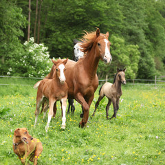 Fototapete - Beautiful mare and foal running with their herd