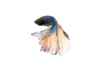 betta splendens or siamese fighting fish isolated on white