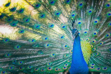 beautiful peacock with expanded feathers