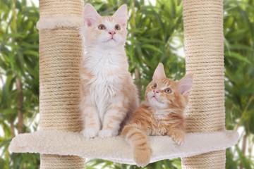 Maine Coon Kätzchen auf Kratzbaum Innenaufnahme