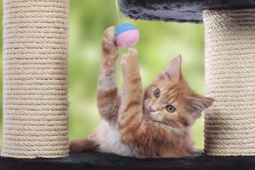 Maine Coon Kätzchen auf Kratzbaum spielend Innenaufnahme