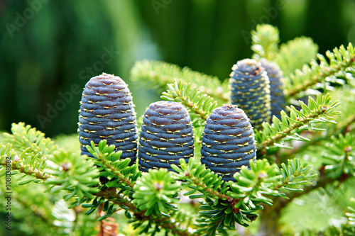 Korean Fir Tree With Purple Cones Stock Photo And Royalty Free