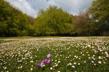 Prato fiorito con margherite alla riserva naturale di Canfaito