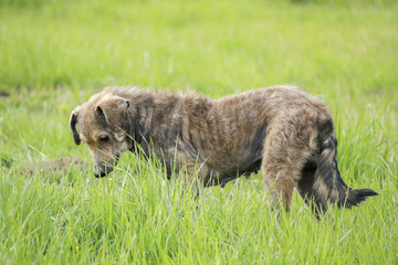 dog play (photo old dog)