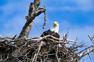 Bald Eagle in it's Nest homer spit alaska