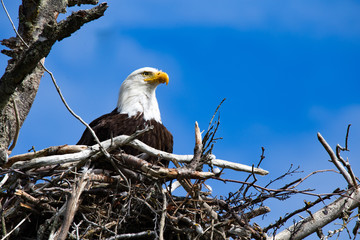 Bald Eagle in it's Nest homer spit alaska