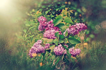 Lilac flower in  vase out doors
