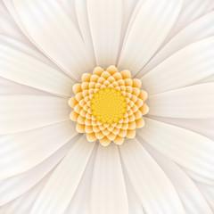 White gerbera flower, square illustration