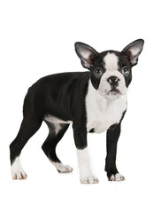 Boston Terrier on a white background