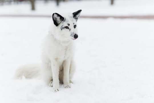 White Fox in the snow