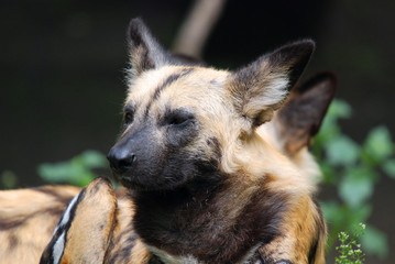 Lycaon pictus is a large canid found only in Africa, especially in savannas and lightly wooded areas.t is variously called the African wild dog, African hunting dog, Cape hunting dog or painted dog.