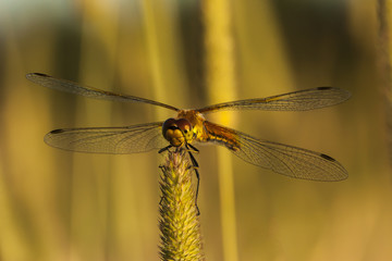 Dragonfly holding a blade of grass in the wild, macro