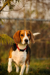 Beagle alert at a fenced in dog park