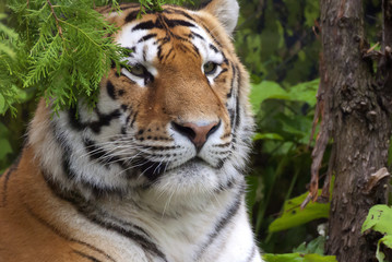 """The tiger Panthera tigris a member of the Felidae family, is the largest of the four """"big cats"""" in the genus Panthera. The tiger is native to much of eastern and southern Asia, and is an apex predato"""