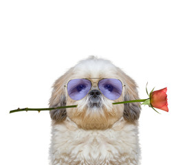 dog in glasses holding a rose in his mouth -- isolated on white