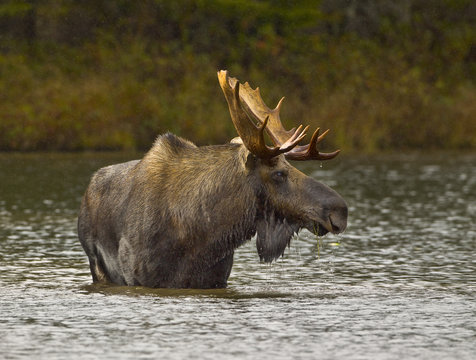 Wading For Breakfast - A bull moose wades out into a pond and eats the vegetation from the bottom of the pond. Sandy Stream Pond, Baxter State Park, Maine.