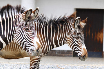 Zebras are several species of African equids (horse family) united by their distinctive black and white stripes. (Etosha National Park) Namibia Africa