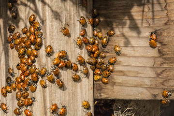 Ladybug Congregation