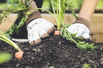 Close up of woman planting carrot in garden