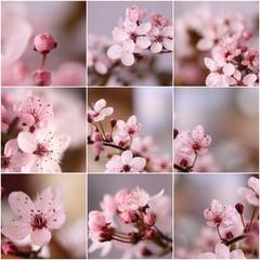 Obraz Kwitnące kwiaty wiśni - fototapety do salonu