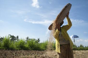 Farmer harvesting rice in rural field