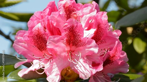 bl ten von rosa rhododendron nah und hell stock footage. Black Bedroom Furniture Sets. Home Design Ideas