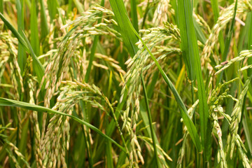 ear of paddy in rice field