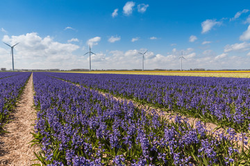 Flower power / A typical Dutch springtime scene rows of colourful Hyacinths with a wind turbine in the background generating green power