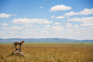 Cheetah in the middle of the savannah, Kenya, Africa