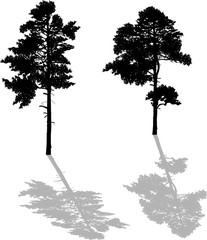 two black pine large silhouettes with shadows
