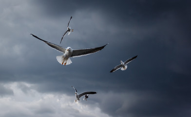 Flying seagulls during a thunderstorm