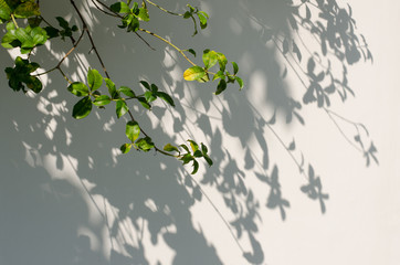 Leaves shadow on the wall.