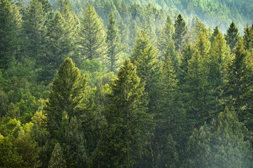 Forest of Pine Trees Wall mural