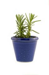 Rosemary in blue pot