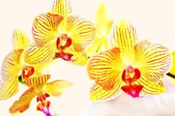 Yellow orchids phalaenopsis
