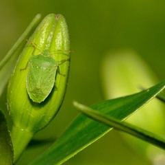 Small green beetle on the flower buds of lily, Nezara viridula
