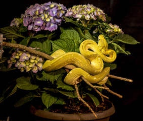 Green tree python on hydrangea
