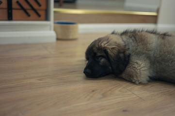 Cute Leonberger puppy sleeping on floor