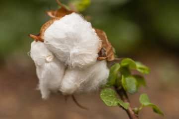Cotton exposed in the flower bud of the plant