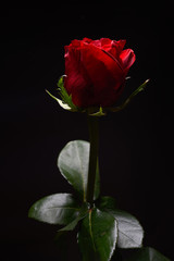 Beautiful red rose with strong contrast on black background. Dra