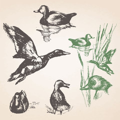 Set of hand-drawn ducks. Vector isolated elements.
