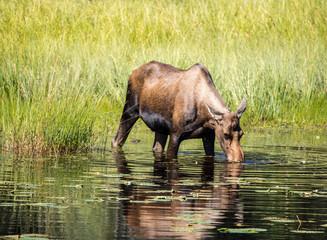 Cow Moose female feeding in water canada yukon