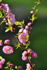 Prunus triloba, amandier