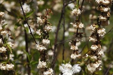ornamental plum,nature